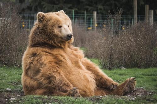 Jósoltak a medvék a Budakeszi Vadasparkban is