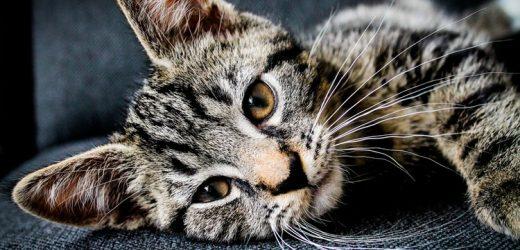Miért masszíroz a macska?