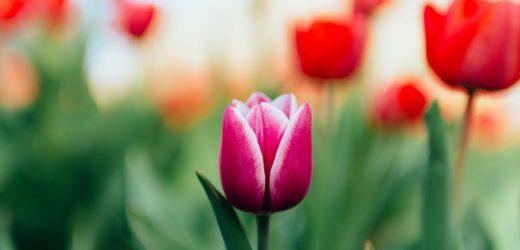 100 ezer tulipán Balatonon?