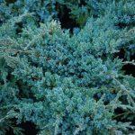 5 kék örökzöld a télen is látványos kertért