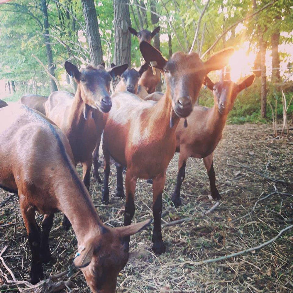 Kecskék az Apis-Farm birtokon