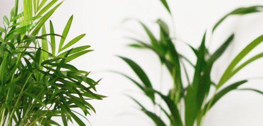 Levéldísznövények átültetése: amikor kinövik a cserepet
