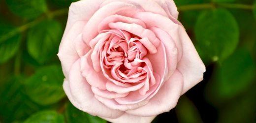 Rózsa metszése