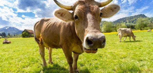 Amerikai marhát eszünk hamarosan?