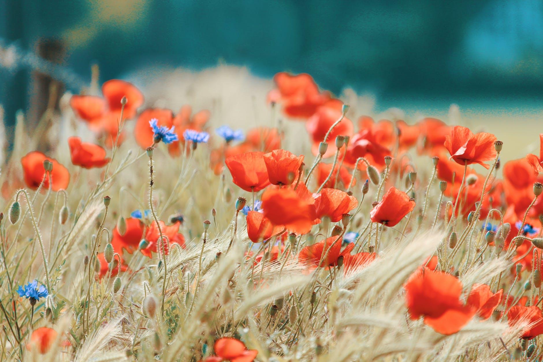 Vadvirágokat a kertbe!