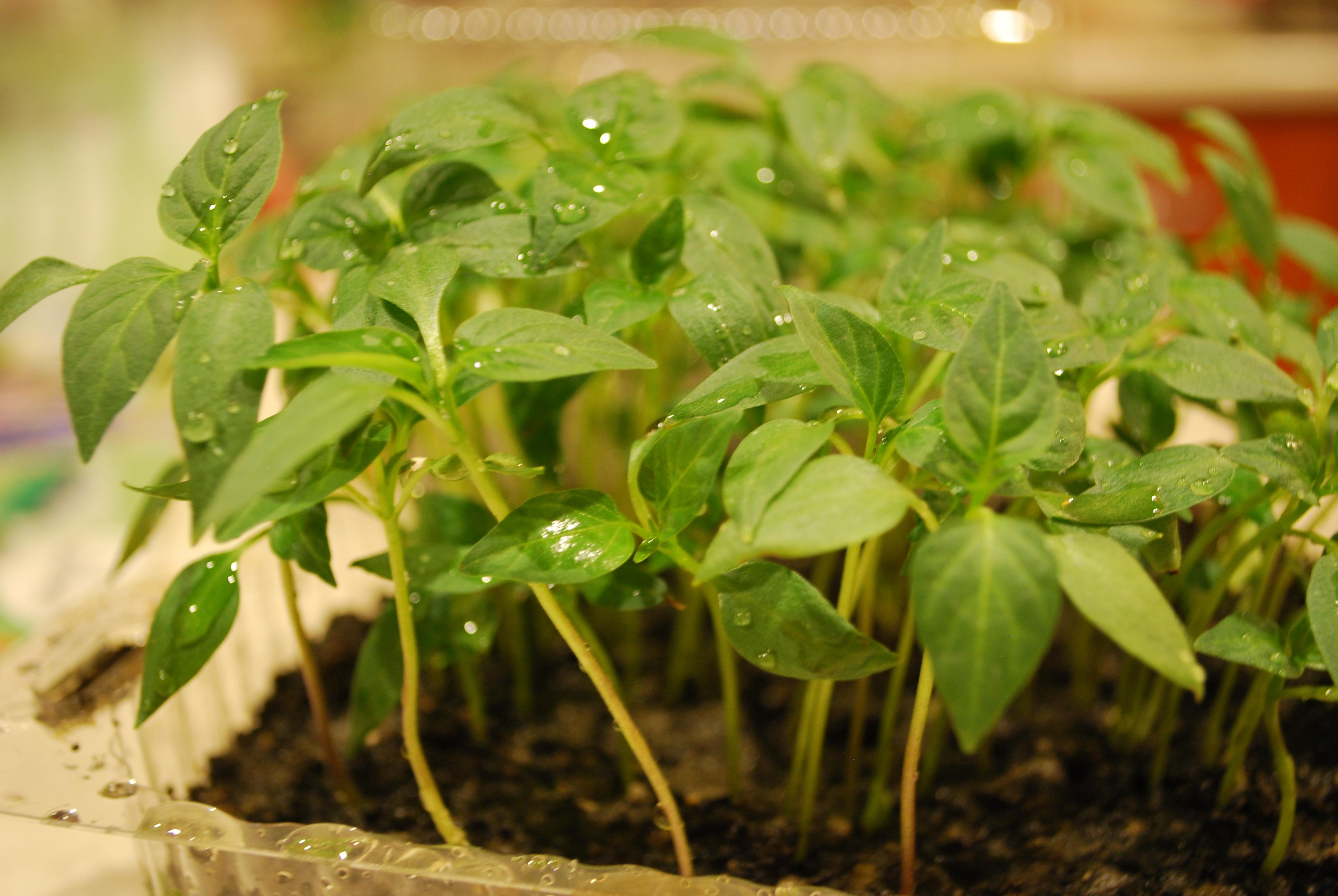 zöldségek palántázása
