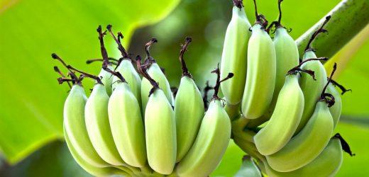 Banánvész: veszélyben a kedvenc gyümölcsünk?
