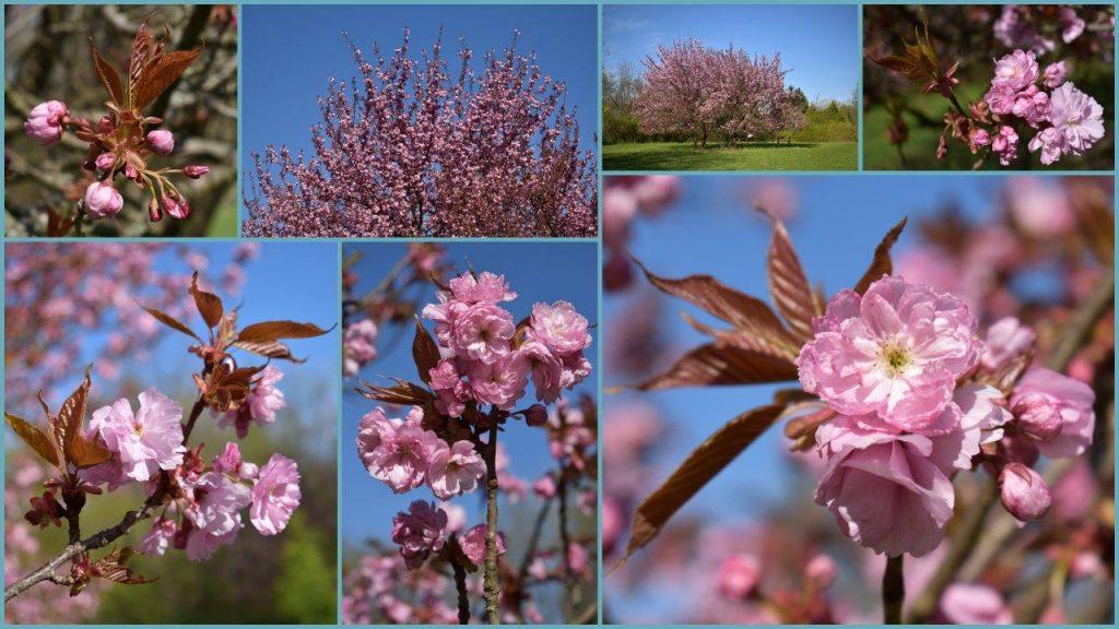 Kecskeméti arborétum virágzás idején