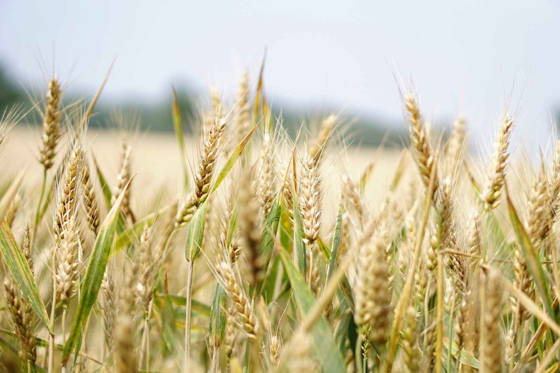 Elkezdődött az aratás