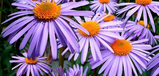 3 csodálatos évelő, mely augusztusban virágzik