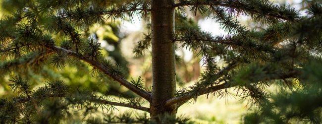 Atlaszcédrus: Különleges faátültetés a Folly Arborétumban