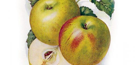 Ősi magyar gyümölcsfajták nyomában – 1. rész