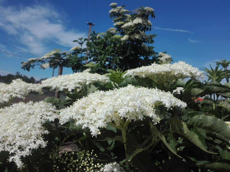 5 tipp, mire jó a bodzavirág
