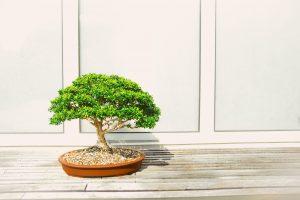 bonsai ápolása