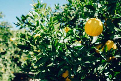 citrom illóolaj