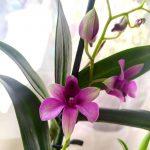 dendrobium virágoztatása