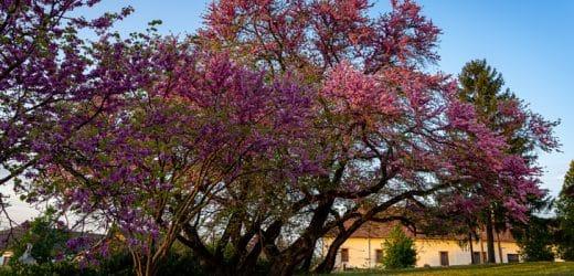 A mélykúti júdásfa az Év fája