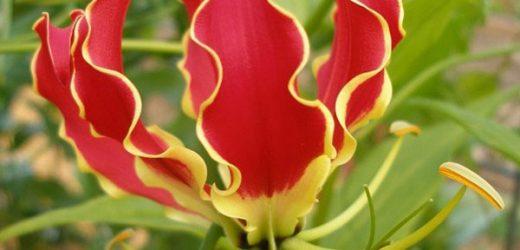 Virághagymák ültetése a biztos sikerért tavasszal