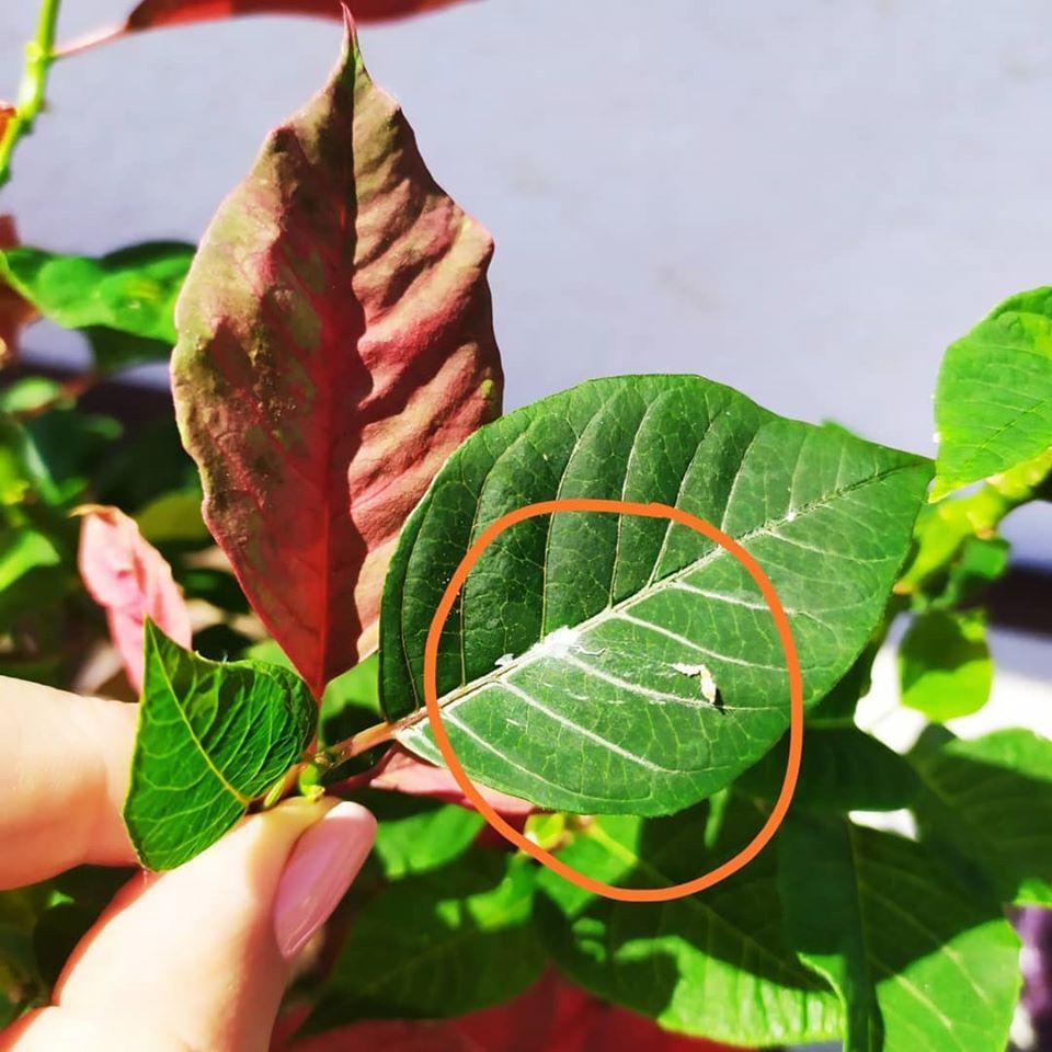gyapjastetű ellen neem olaj