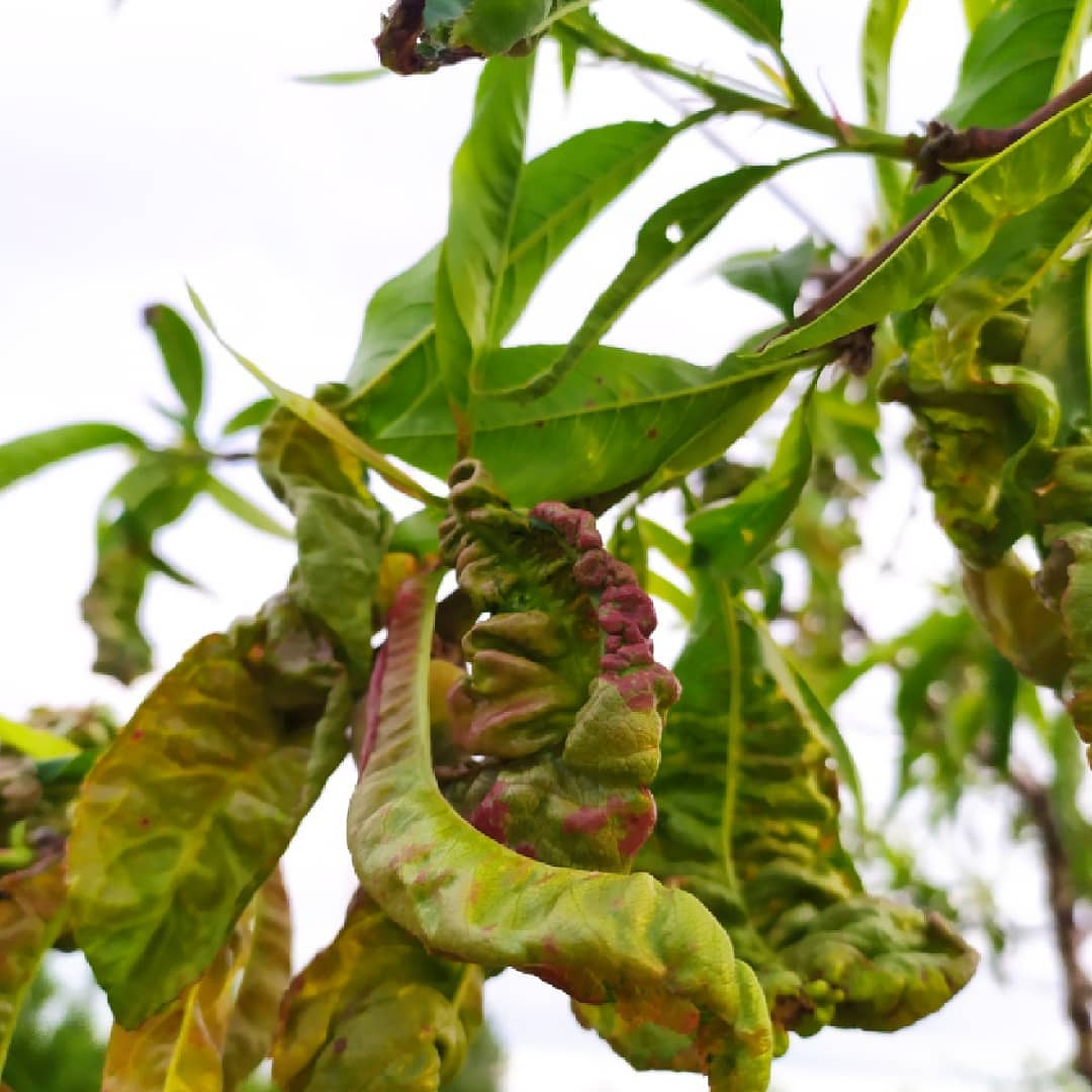 illóolajos növényvédelem - tafrína 2