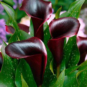 Kála - Zanthedescia: akár 60 cm magasra is megnőhet, ha jól érzi magát.