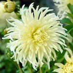 virágzó hagymások