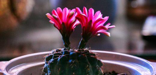 Hogyan virágoztassuk a kaktuszokat?
