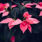 3 szuper karácsonyi dísznövény