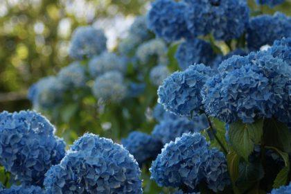 kék virág hortenzia emberi szem