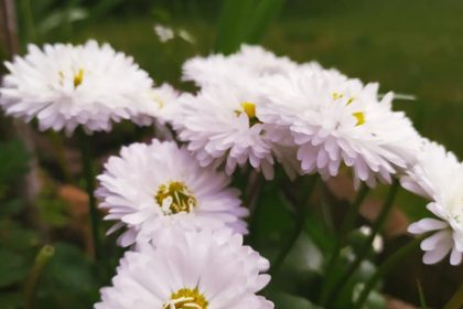 kertportál major százszorszép