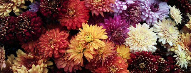 Őszi virágzónk: a krizantém