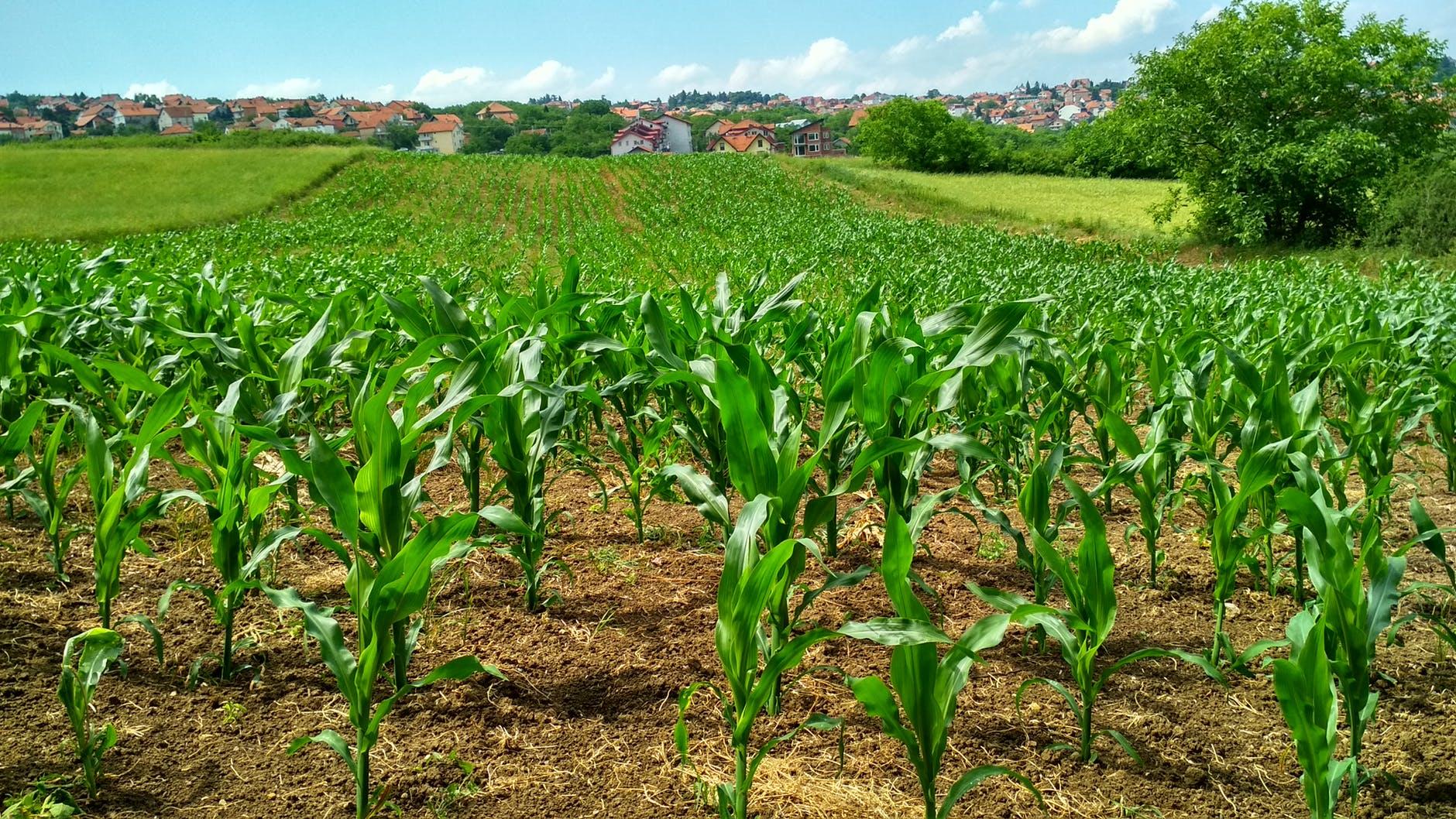 41 tonna feletti az új kukoricarekord hektáronként