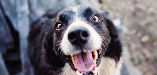 Kutya: tenyésztő vagy szaporító? – 1. rész
