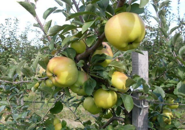2 ősi almafajta: Ezeket érdemes ültetni – London pepin és Batul