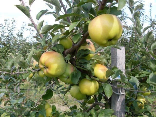 london-pepin-alma-ősi magyar gyümölcsfajták