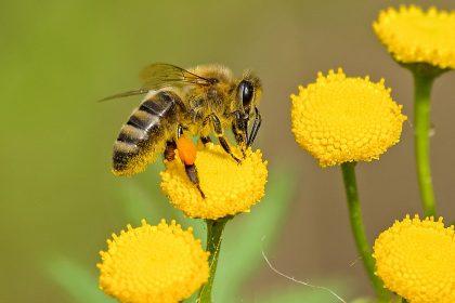méhek - A legfontosabb élőlények a Földön