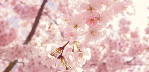 Amit a meggy és cseresznye alanyokról tudni érdemes