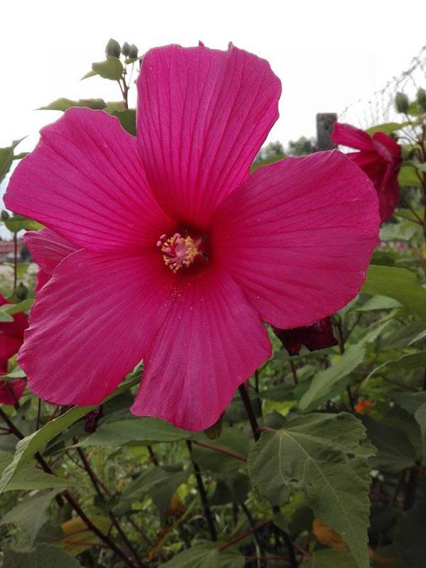 Mocsári hibiszkusz (Hibiscus moscheutos) vetőmag