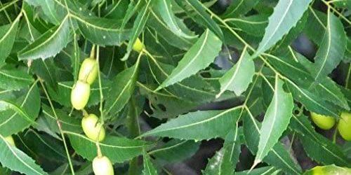 5 tipp: Neem fa és a neem olaj