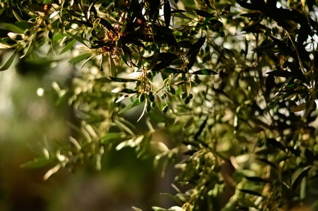 Olíva fa - Görögországban