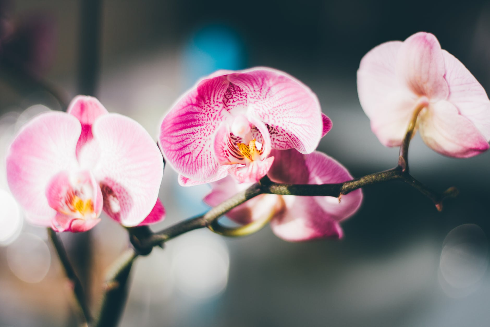 Lepkeorchidea átültetése