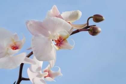 orchidea öntözése