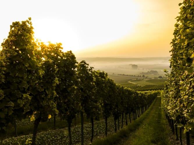 szőlővédelmi támogatás