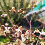 Tavaszi fagyhelyzet: lesz idén gyümölcsünk?