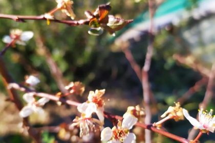 tavaszi fagyhelyzet