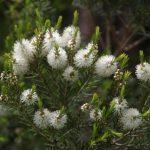 teafa olaj hatása fertőtlenít gyógyít vírusölő
