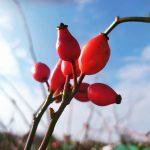 Téli vadon termő gyümölcsök