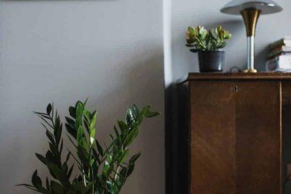zamioculcas - modern lakások szobanövényei